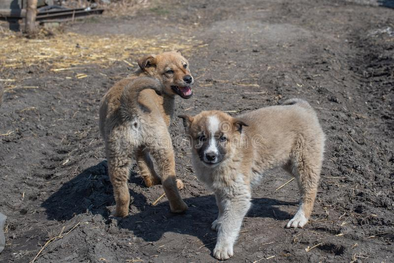 Two beautiful fluffy homeless puppy mongrels in summer. Two beautiful fluffy cute homeless puppy mongrels in the road in summer royalty free stock photos