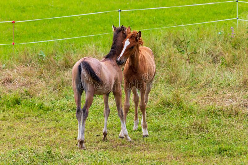 Two beautiful foals playing in green meadow. stock photos