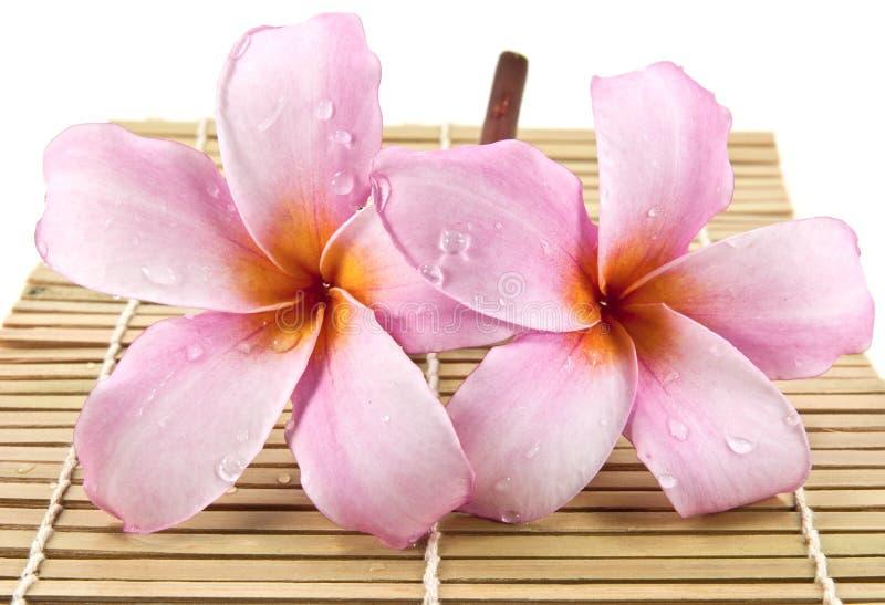 Two beautiful frangipani flower. On bamboo stock image