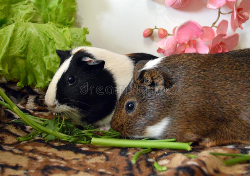 two beautiful guinea pigs eating fresh greens royalty free stock images