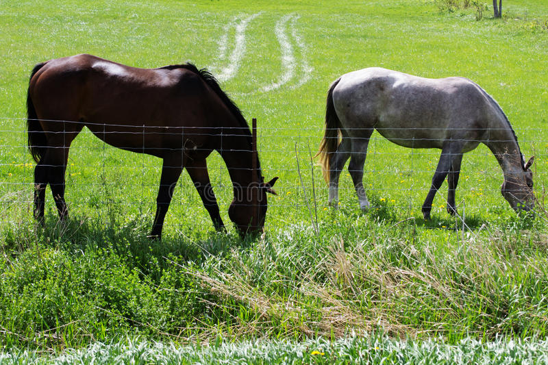 Two Beautiful Healthy Horses Feeding Feeding On Grass. Colour photograph of two farm horses in country field feeding on grass on a beautiful sunny morning. Two royalty free stock photo