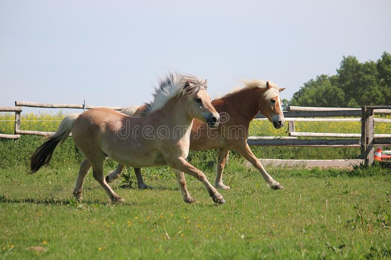 Two running horses royalty free stock photos