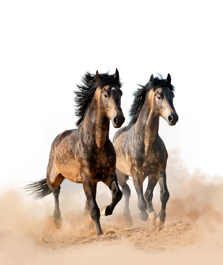 Two beautiful horses running royalty free stock images