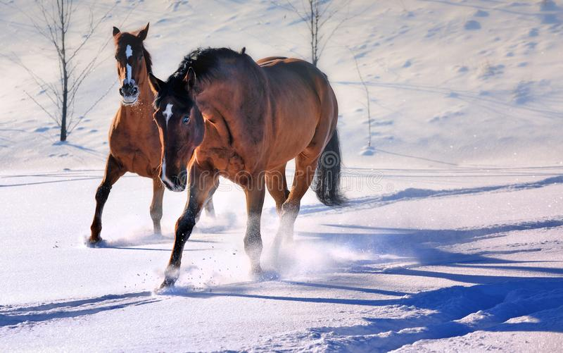 Two beautiful horses in snow field stock images