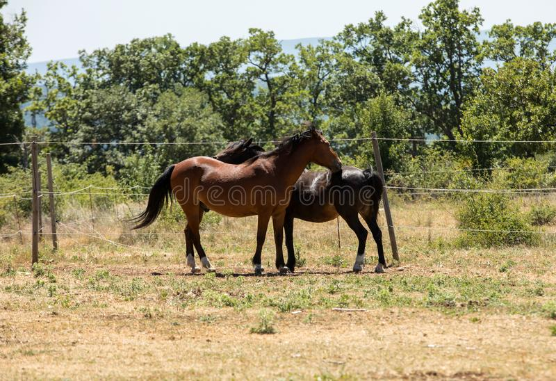 Two beautiful horses standing  in the field in summer royalty free stock photos