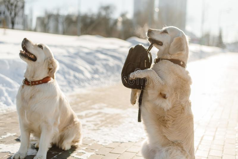 Two beautiful Labrador training. royalty free stock images