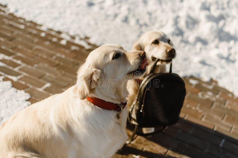 Two beautiful Labrador training royalty free stock photos