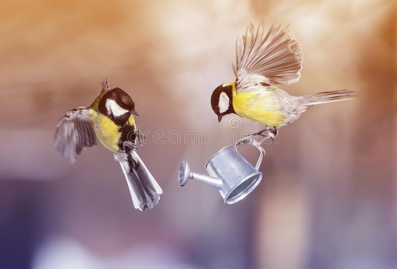 Two beautiful little bird Tits fly in the spring Sunny garden with a watering can in their paws. Two  little bird Tits fly in the spring Sunny garden with a royalty free stock images
