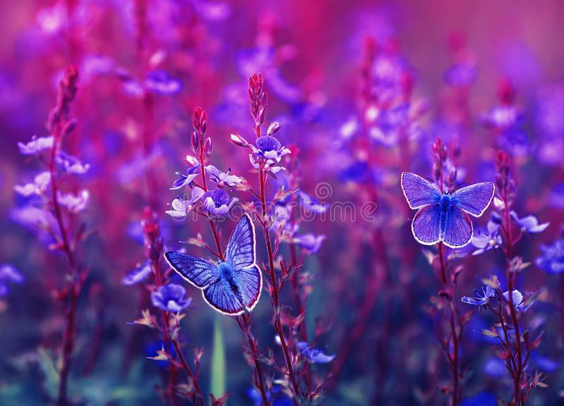 Two beautiful little golubyanka Icarus butterflies sit on a blooming meadow on lilac and pink flowers on a Sunny bright day royalty free stock photo