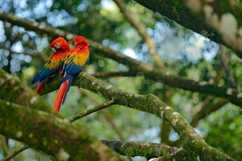 Two beautiful parrot on tree branch in nature habitat. Green habitat. Pair of big parrot Scarlet Macaw, Ara macao, two birds sitti. Ng on the tree stock photos