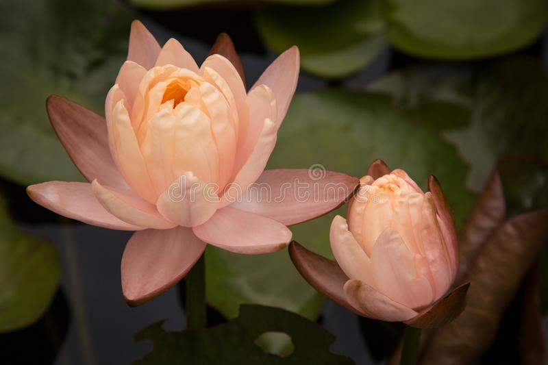 Two Beautiful Peach coloured Water Lilies. Beautiful fragile petaled peach coloured waterlilies amongst large lilypads on a tranquil pond. Apricot orange royalty free stock photo