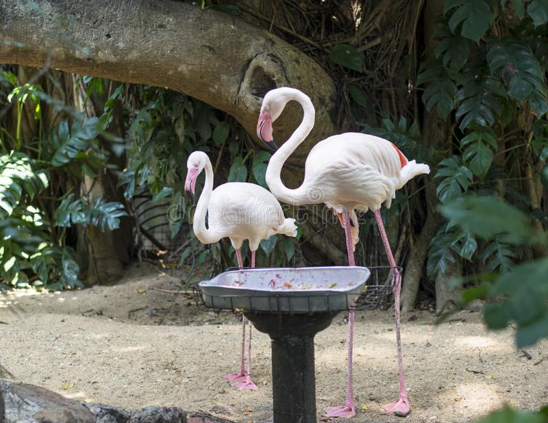 Two beautiful pink flamingo birds. At zoo in Sri lanka stock image