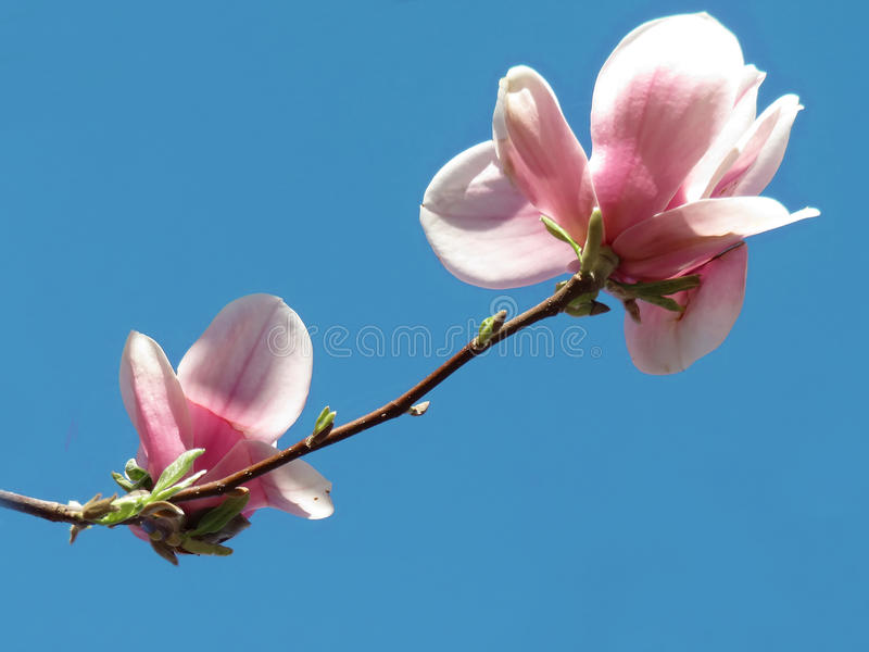Two beautiful pink magnolia flowers stock image