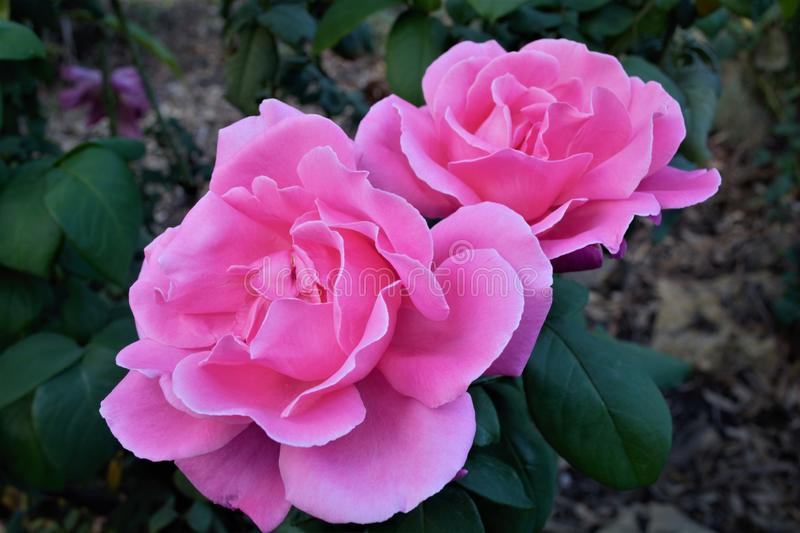 Two beautiful pink roses in bloom in a close up stock photos
