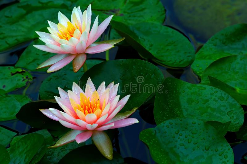 Two beautiful pink water lilies covered in dew drops after heavy rain. royalty free stock photography