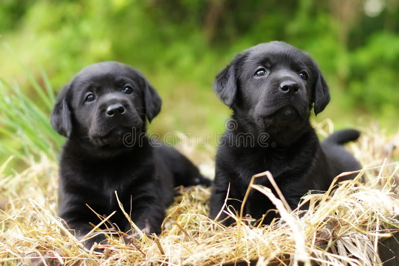 Two beautiful purebred black puppy dog Labrador. Sitting in the summer on the nature in the straw royalty free stock images