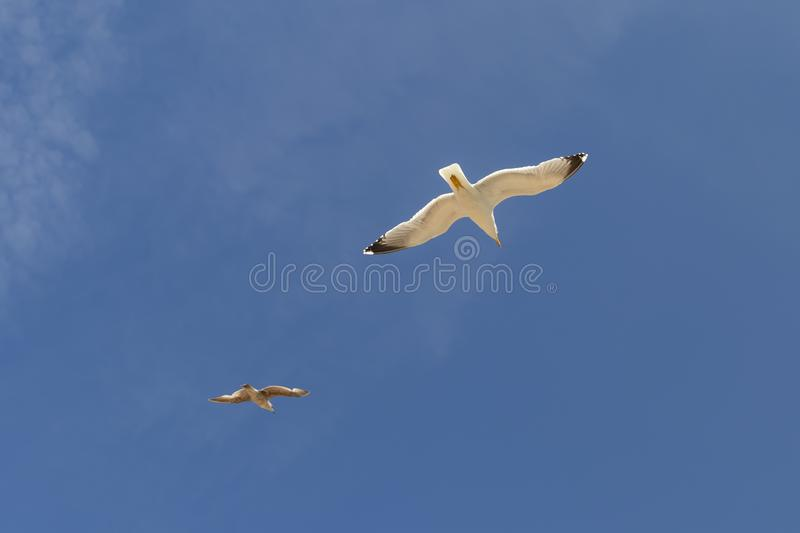 Two beautiful seagulls are flying against the blue sky with cirrus clouds stock image
