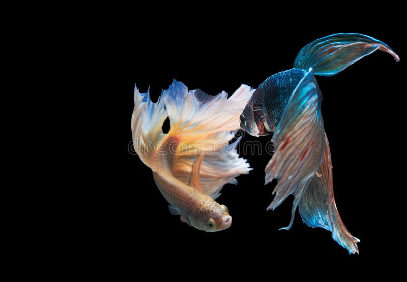 Two Siamese fighting fish isolated on black background royalty free stock photo