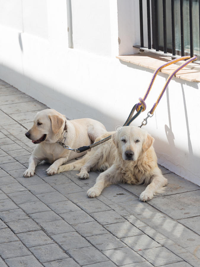 Two beautiful smart white dogs royalty free stock images