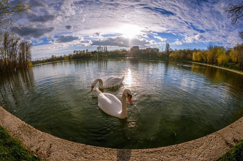Two beautiful swans in Titan Park in Bucharest in the spring. Show with fisheye stock images