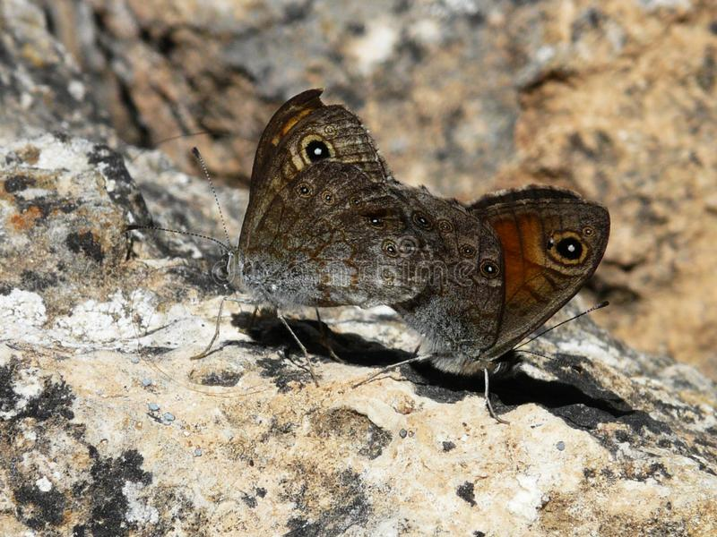Two mating butterflies on stone. Two beautiful unusual brown owl butterflies Kaligo mating at dusk on stony ground. Continuation of life royalty free stock image