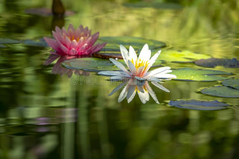 Two beautiful water lilies n a pond. The left is a pink nymphaea Perry`s Orange Sunset in a soft focus. White water lily Marliacea Rosea with delicate petals royalty free stock photography