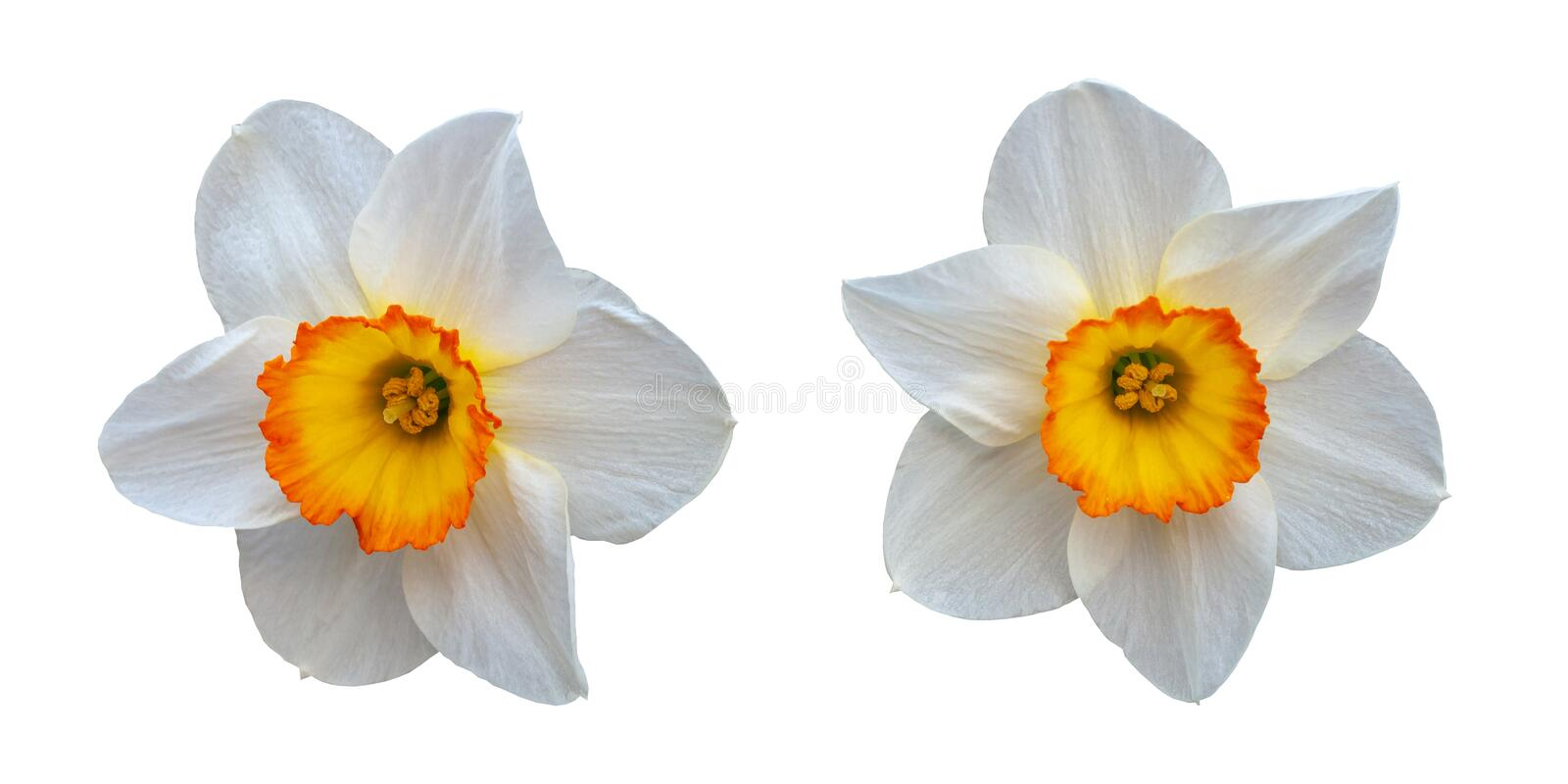 Two beautiful white daffodils with a yellow center royalty free stock photo