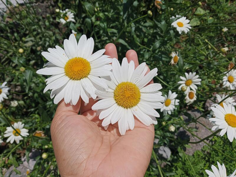 Two beautiful white daisy flowers blossom in a young woman hand on green garden background. Love & protection concept stock photo