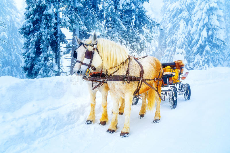 Two beautiful white horses in mountain winter landscape. royalty free stock photo