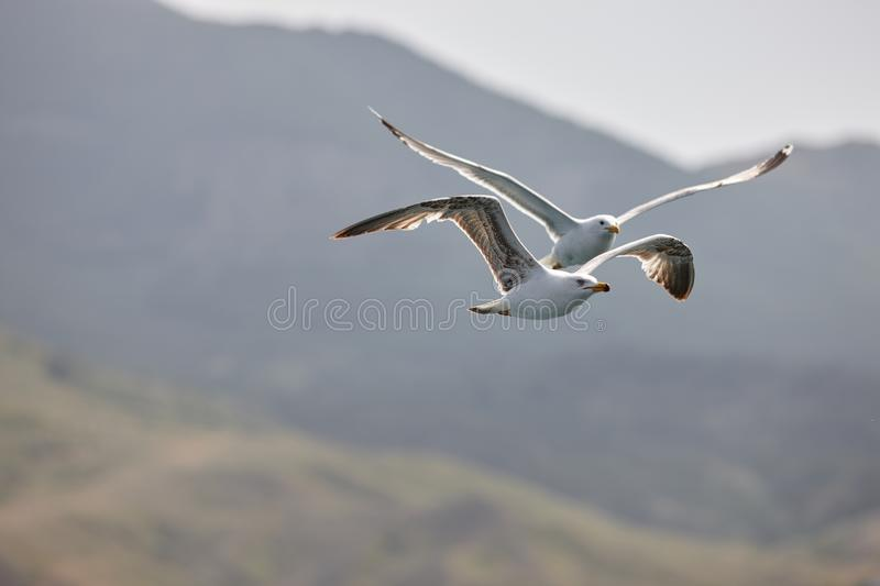 Two beautiful white seagulls fly against the blue sky, clouds and mountains. Two funny gulls fly against the background of the mou royalty free stock photography