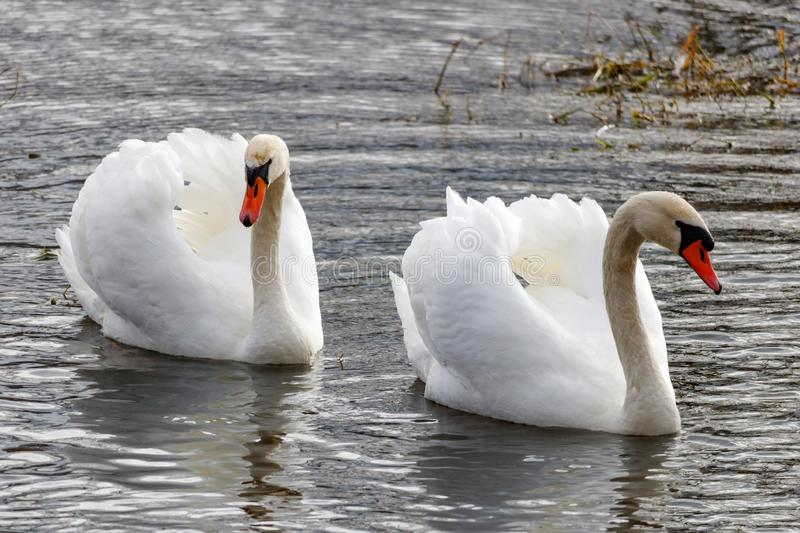 Two beautiful white swans with raised wings swimming on the river surface royalty free stock photos