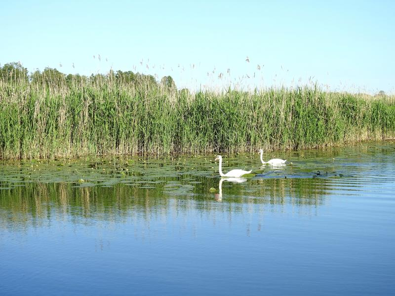 Two beautiful white swans in river, Lithuania royalty free stock images