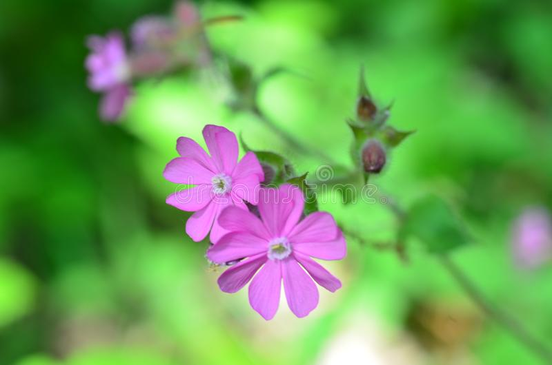 Beautiful wild purple flowers on a green background. Two Beautiful wild purple flowers on a green background stock images