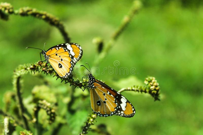 Two Beautiful Yellow Butterflies on the tree royalty free stock images