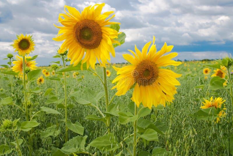 Two beautiful yellow sunflowers royalty free stock photo