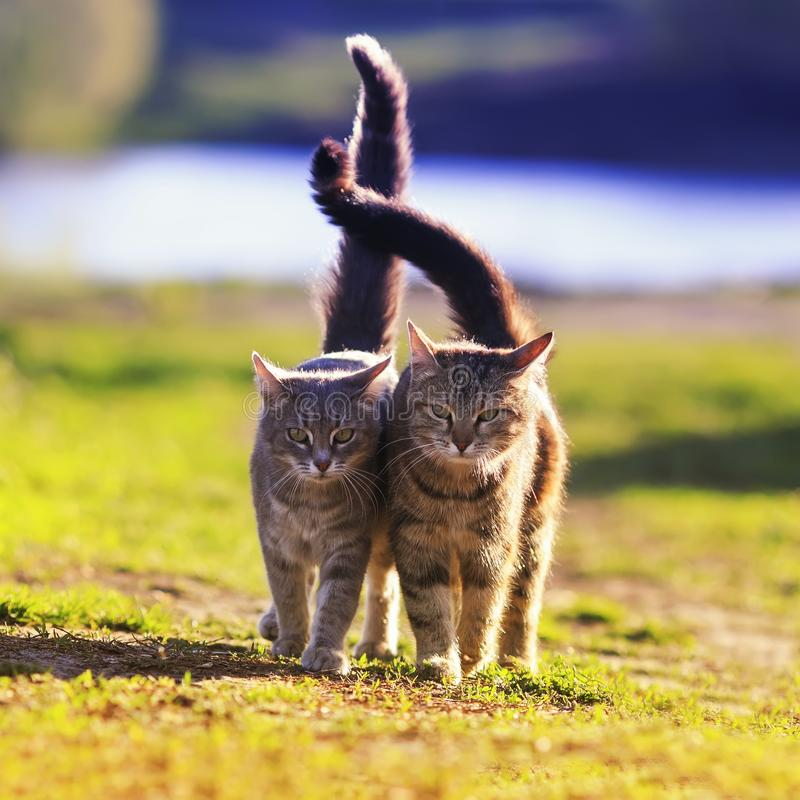 Two beautiful young cats walk in a Sunny meadow on a clear spring day raising their tails royalty free stock images