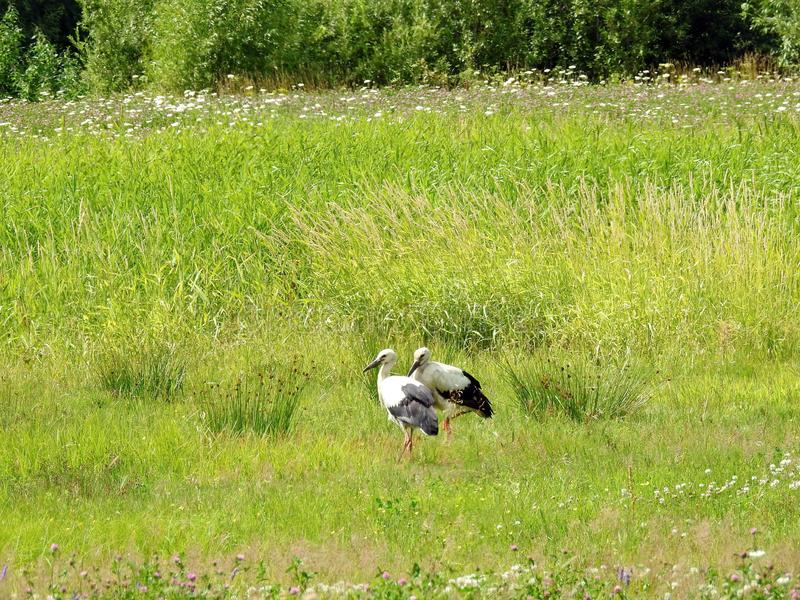 Two young stork birds in meadow, Lithuania royalty free stock image