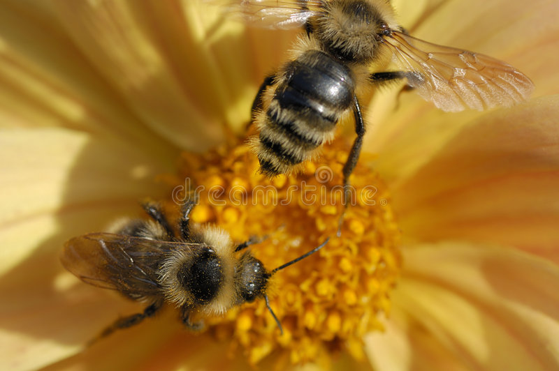 Two bee close-up royalty free stock image