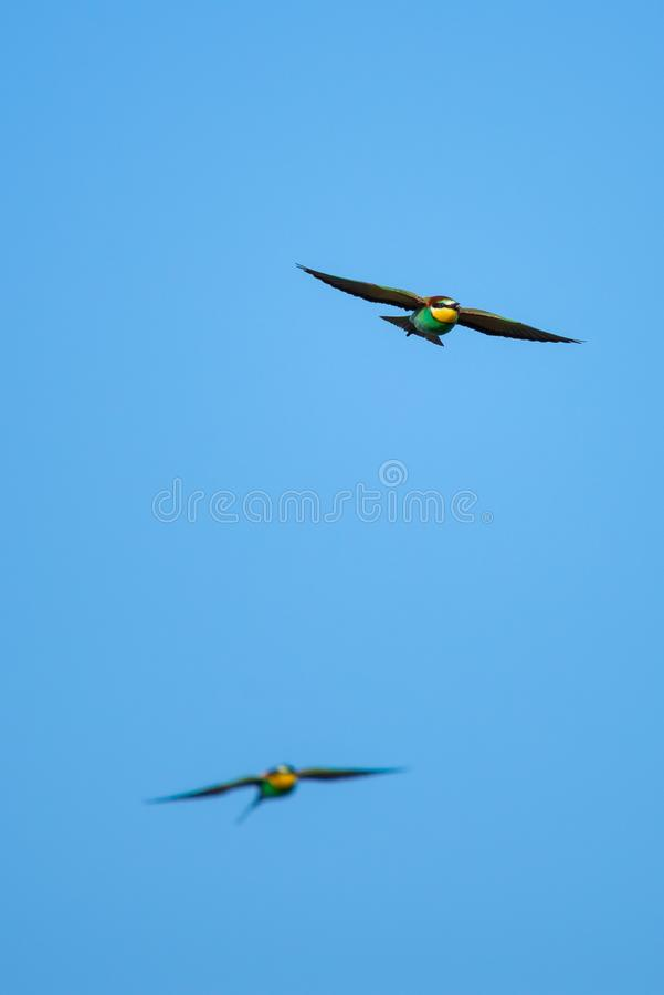 Two Bee-eater bird hunting in sky. Flying jewel. European Bee-eater, Merops apiaster. Selective focus stock image