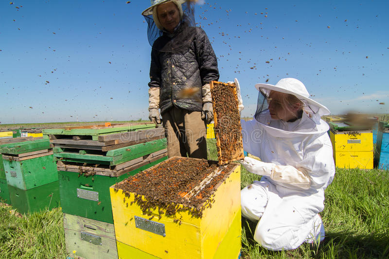 Two beekeepers checking the honeycomb of a beehive. Horizontal front view of two beekeepers checking the honeycomb of a beehive with bees swarming around them royalty free stock photo