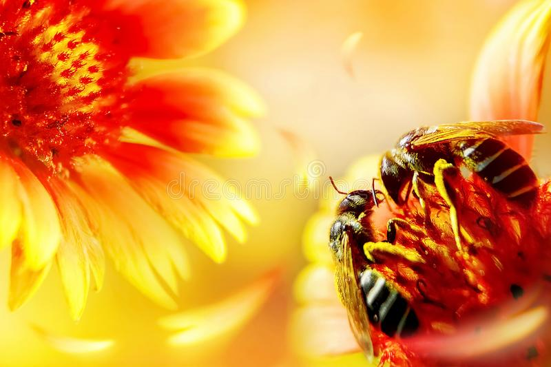 Two bees on a beautiful red-yellow flower. Artistic natural macro image. Valentine's day royalty free stock image
