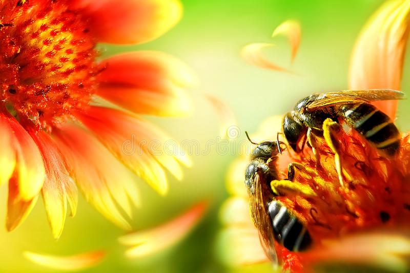 Two bees on a beautiful red-yellow flower. Artistic natural macro image. royalty free stock images