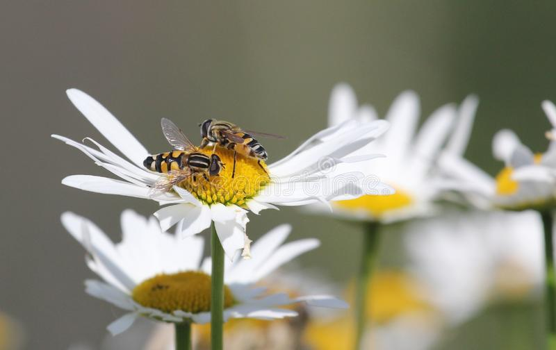 Two bees on a daisy flower, camomile, summer pod. High quality photo royalty free stock images