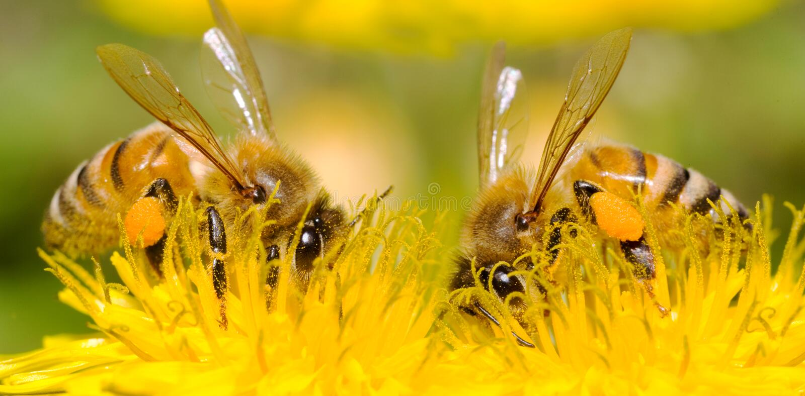 Two Bees and dandelion flower royalty free stock image