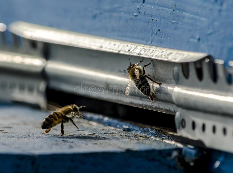Two bees at the entrance to the hive stock photography
