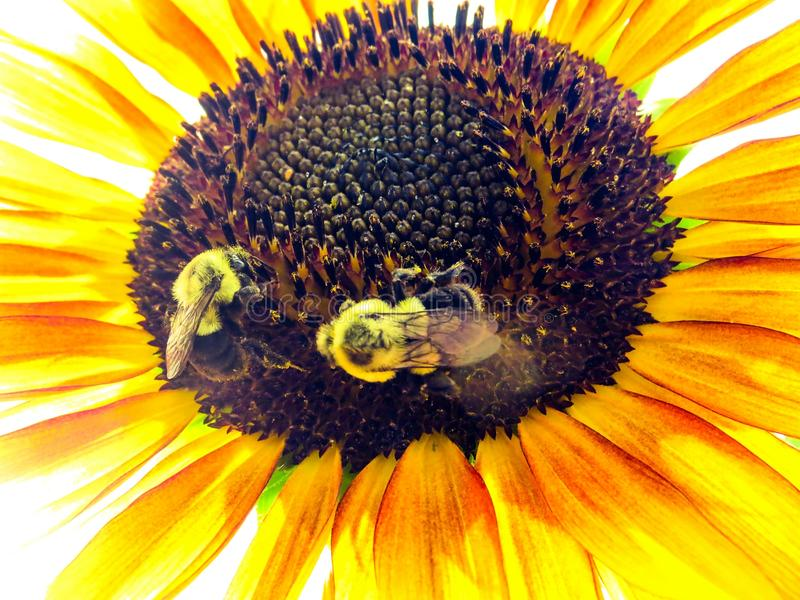 Bumblebees Pollinating A Bright Yellow Sunflower closeup royalty free stock images