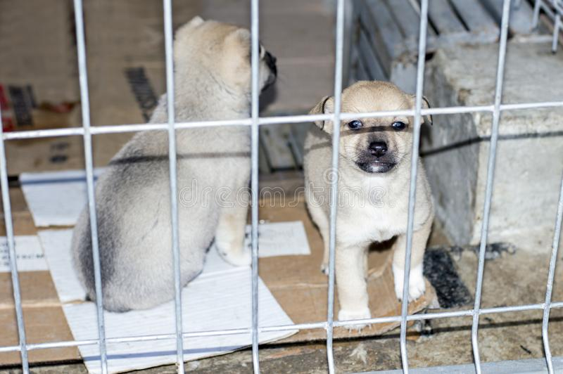 Two beige puppies behind the fence in the shelter royalty free stock image