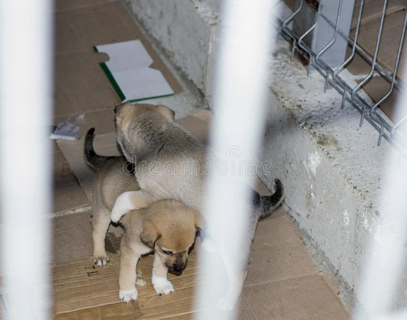Two beige puppies play in the shelter stock image