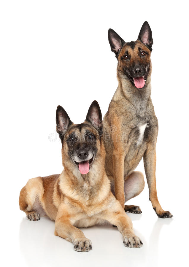 Two Belgian Malinois shepherd dogs. Two happy Belgian shepherd Malinous posing on white background royalty free stock images