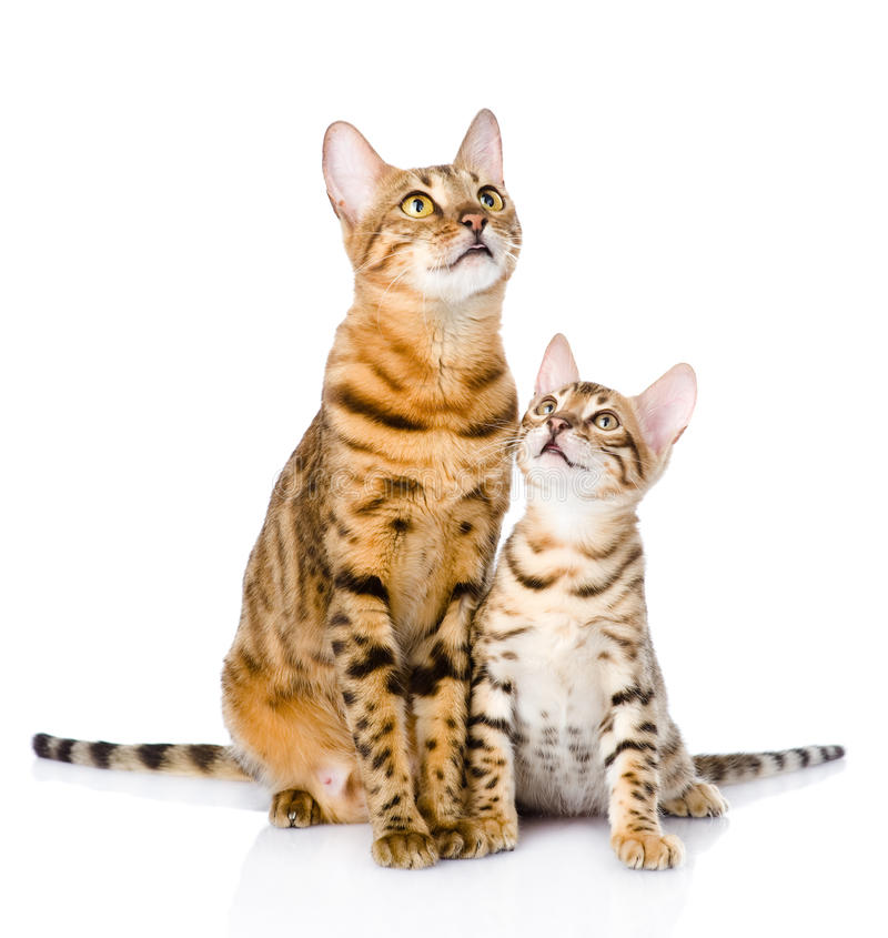 Two bengal cats. mother cat and cub looking up. On white royalty free stock photos